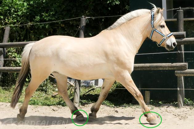 Taktfehler Pferd