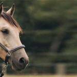 Ein Pferd aus Amerika