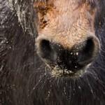 Abschnauben – Wieso machen Pferde das?
