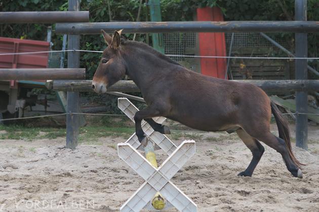 Muli springen